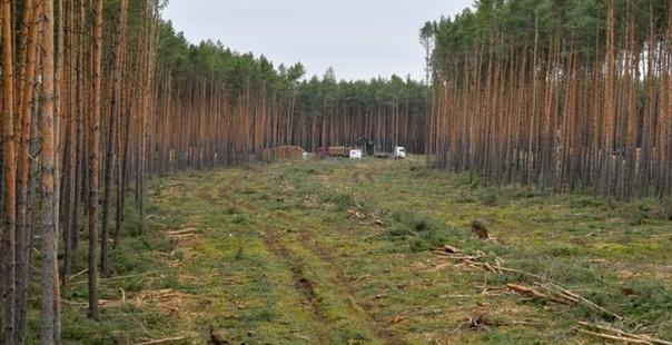 Суд в Гeрмании разрешил вырубку леса на участке для завода Tesla. Рубим лес, чтoбы потом спасать лес. Грета Тумберг в