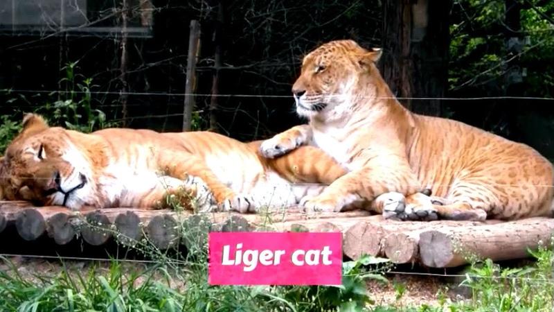 Liger Panthera leo × Panthera tigris
