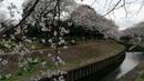 Japanese cherry sakura blossom in Wadabori Park Tokyo Цветение сакуры, Токио, Япония