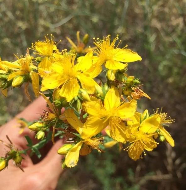 ЗВЕРОБОЙ ЛЕЧИТ БОЛЕЕ 80 БОЛЕЗНЕЙ Зверобой одно из самых известных в мире целебных растений. Он обладает седативными, антисептическими, вяжущими, противовоспалительными, сосудорасширяющими и