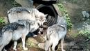 When Wolf Pups Wander Chaos Ensues
