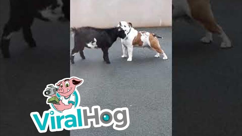 Bulldog and Pygmy Goat Make Best Buddies ViralHog