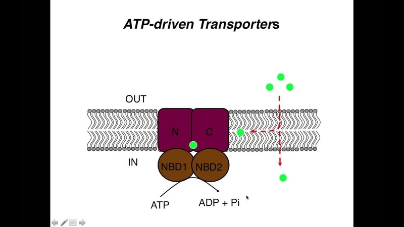 ABC Transporters and Pgp