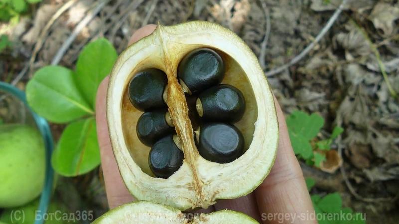 Ксантоцерас рябинолистный Чекалкин орех Садовые растения для гурманов