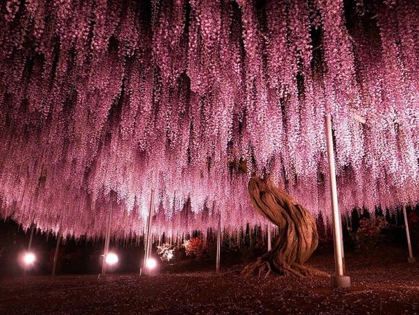 144-летняя глициния, Япония. (источник: gofazenda)