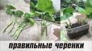 ПЕЛАРГОНИЯ (Герань, Мушкат) 🌺 черенкование и обрезка