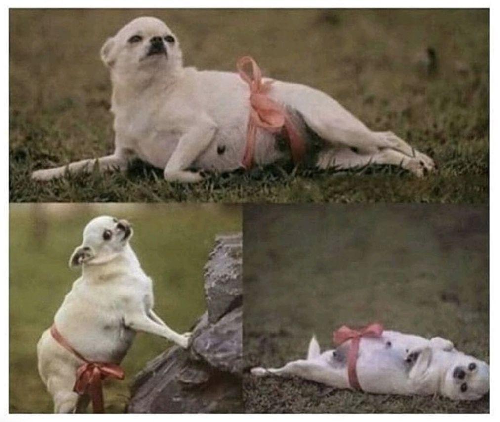 Кто-то устроил фотосессию для своей беременной собаки