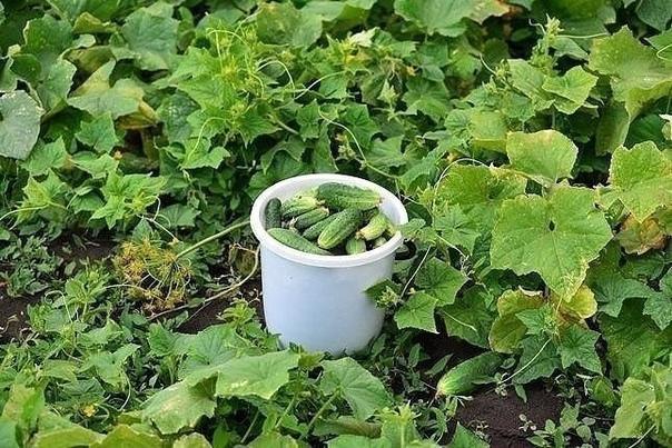 Растворы для богатого урожая огурчиков Чтобы получить богатый урожай огурчиков, нужно их регулярно подкармливать! Для этого отлично подойдет хлебная закваска. Приготовить ее просто! Наполните