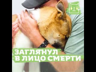 Пес акита, который выжил