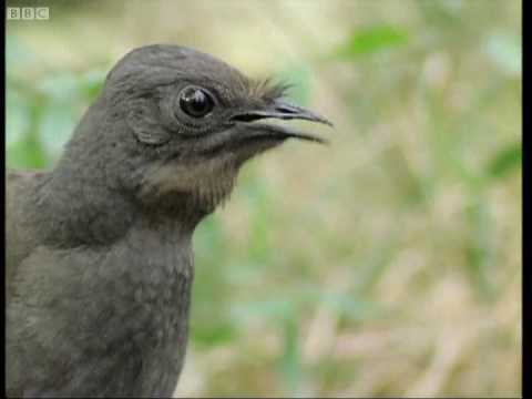 Attenborough the amazing Lyre Bird sings like a chainsaw! Now in high quality   BBC Earth