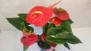 ЦветыВместе Антуриум Дакота Anthurium Dakota 17/70 Ultra HD 4K 2160p60FPS