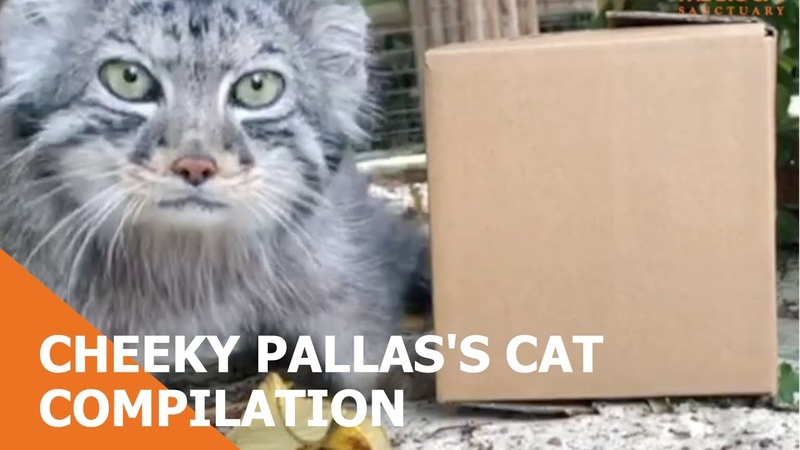 Cheeky Pallass Cat Compilation