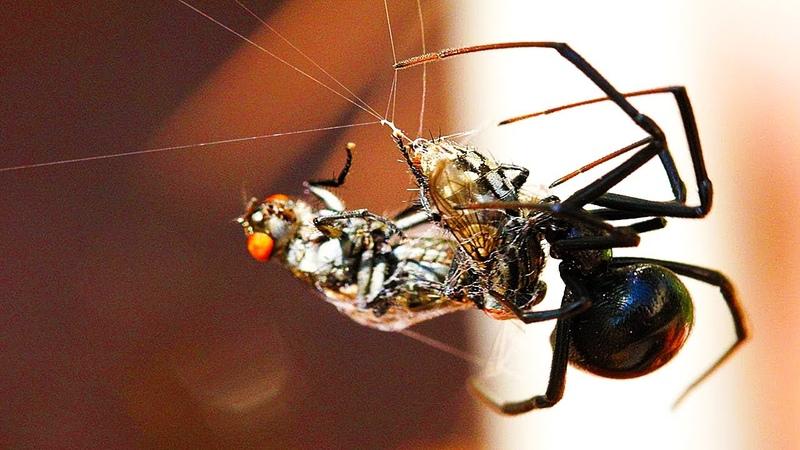 Хитрый ПАУК НА ОХОТЕ Чёрная вдова Паук против скорпиона паук против осы паук против сколопендры
