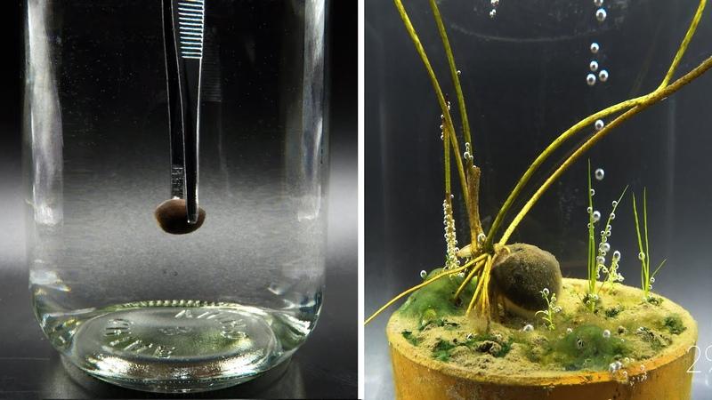 Growing Pink Lotus Seed Underwater Time Lapse