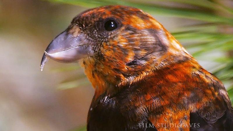 Клёст еловик Loxia curvirostra Common Crossbill в поисках гастролитов Film Studio Aves