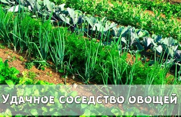 Удачное соседство овощей