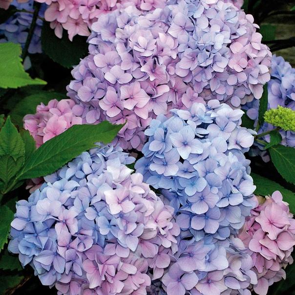Подкорка гортензий кефиром для обильного цветения!