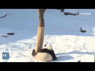 Панда играет в снегу