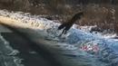 Мышкующая лиса попала на видео, снятое жительницей Приморья