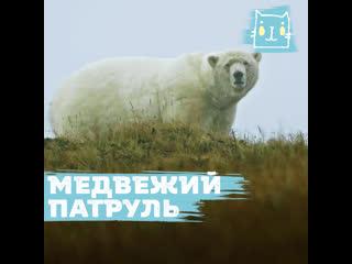 Медвежий патруль на Чукотке  защита животных и людей друг от друга