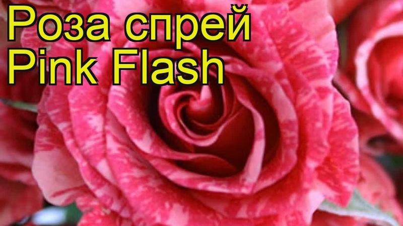 Роза спрей Пинк Флеш. Краткий обзор описание характеристик где купить саженцы Pink Flash