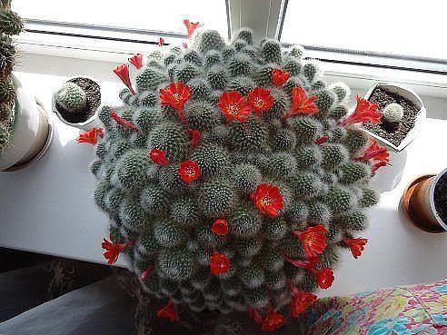 Цветущий кактус (источник: gofazenda)