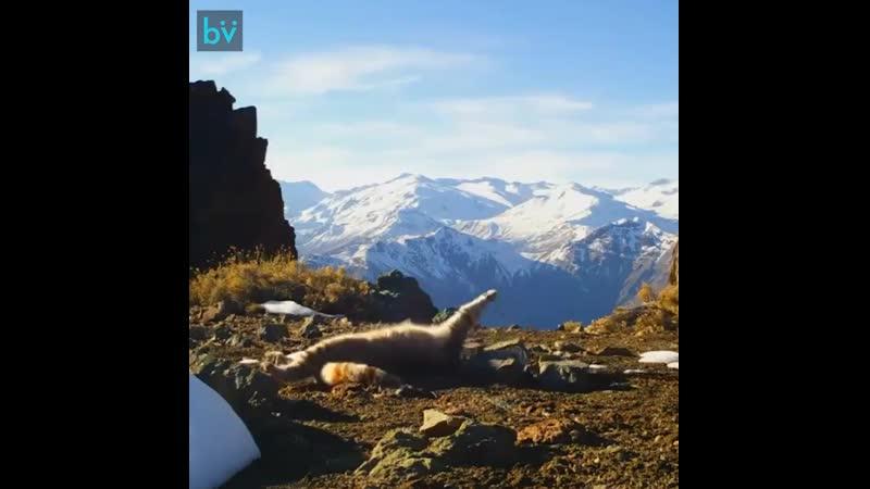 Одна из самых редких диких кошек в мире Андская горная кошка раскинувшаяся перед камерой дикой природы