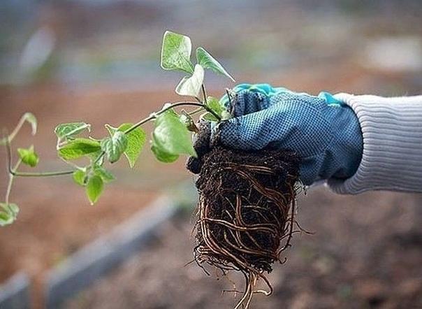 КАК И КУДА ПРАВИЛЬНО ПОСАДИТЬ КЛЕМАТИС!Сохраните, чтобы не потерять! Знаете ли вы, что от правильной посадки клематиса зависит общее развитие и состояние растенияПосаженная наспех лиана, ни