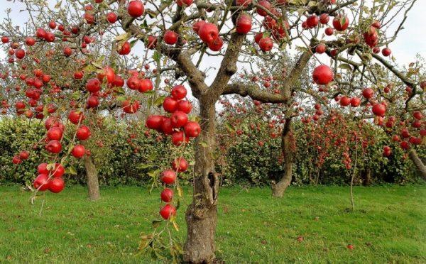 Для чего снижают высоту деревьев в саду Секреты большого урожая!
