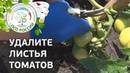 🍅Формирование томатов в открытом грунте в период сбора урожая. Как прищипывать верхушку томата.