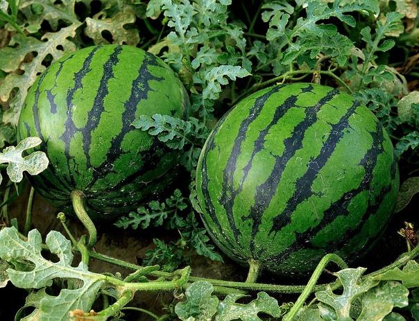 Спрашиваете как вырастить сладкий спелый крупный арбуз в наших условиях Нет ничего проще