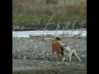 Битва волка и маленького бизона..