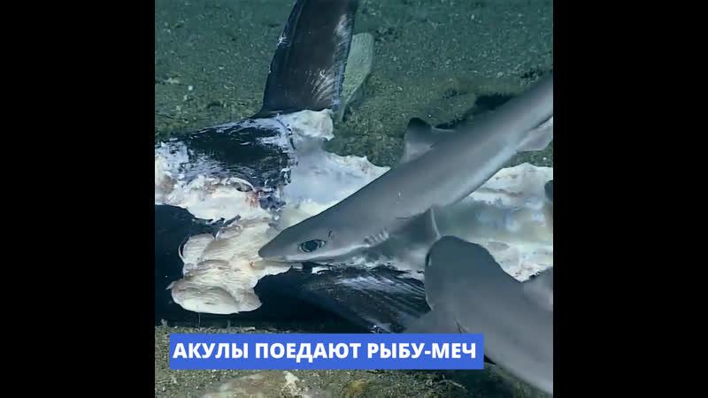 Страшнее акулы может быть только стая акул
