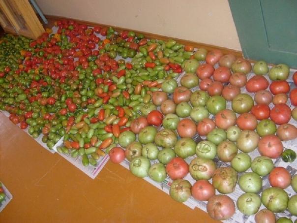 Едим свои помидоры в ноябре. Как и где хранить