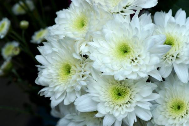 Хризантема - лечебная сила растения в вашем саду/