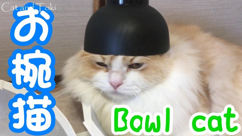 お椀猫のスコティッシュフォールドのレイ君 Ray from the Scottish Fold the bowl cat