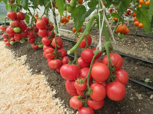 Какие ультраскороспелые сорта томатов высажу на следующий год, уж точно не останусь без урожая
