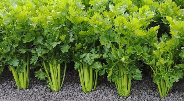 Что посадить на грядку после чеснока и лука в июле-августе Многие дачники, которые выращивают чеснок и лук на своё садовом участке, после сбора полезных овощей, задаются вопросом, что же