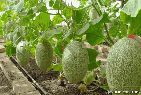 Как правильно сформировать бахчевые, чтобы получить хороший урожай