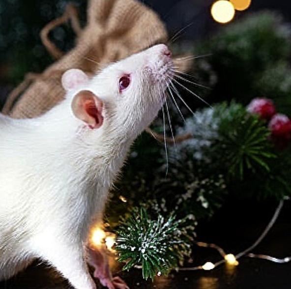 НЕМНОГО АСТРОЛОГИИ 2020-й по китайскому календарю будет годом металлической Крысы Именно это животное открывает китайский зодиак, поэтому грядет время начинаний и обновлений.Астрологи называют
