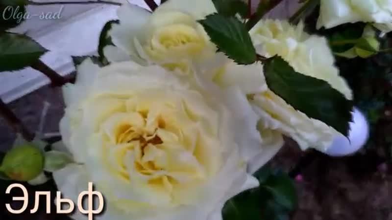 Плетистые розы ТОП 10 сортов