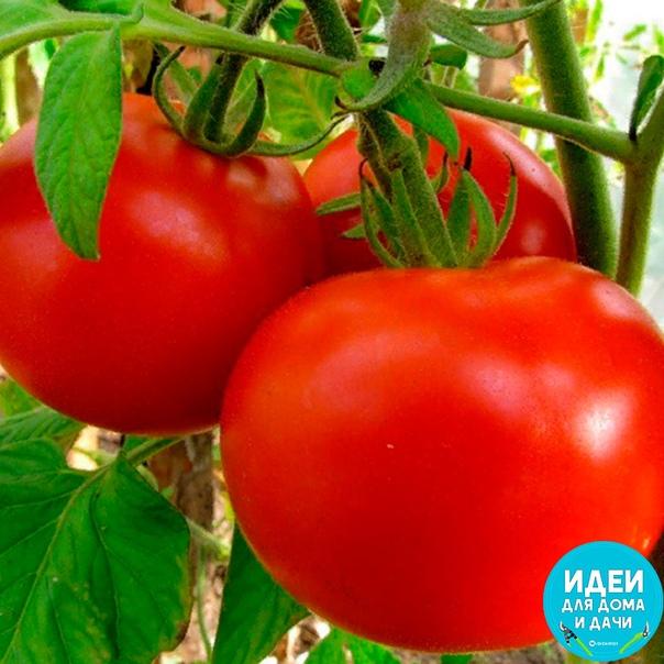 Подкармливать помидоры следует спустя 2 недели с момента посадки и до середины августа