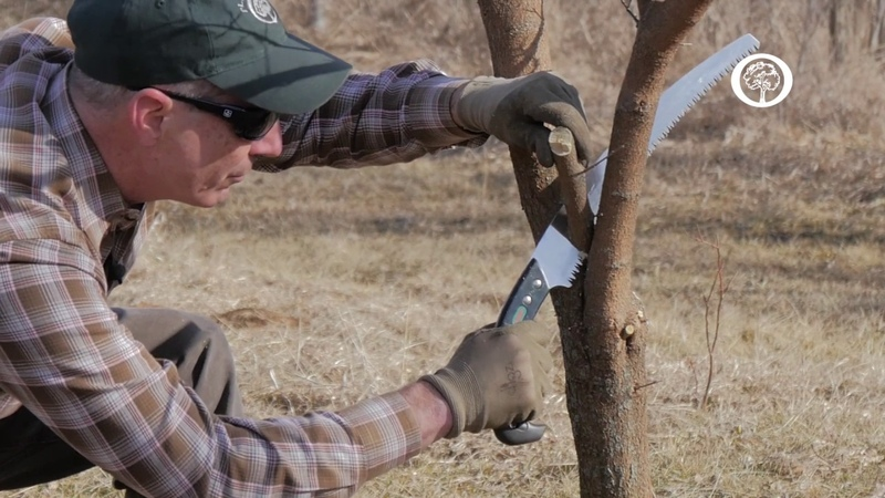 Ask an Arborist The ABC's of Pruning