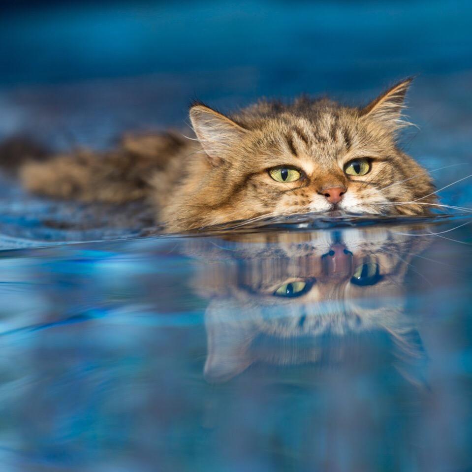 Виды водоплавающих котов