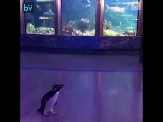 Чикагский аквариум закрыт на карантин, поэтому персонал позволил пингвинам гулять и смотреть рыб