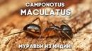 МОИ МУРАВЬИ ИЗ ИНДИИ РАСТУТ! Camponotus maculatus - как поживает колония в большой муравьиной ферме?