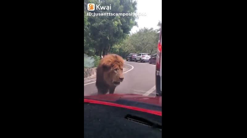 Rei é Rei, O Leão!
