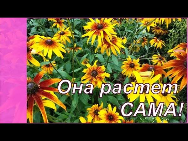 Рудбекия многолетняя растет САМА Самые неприхотливые цветы в саду