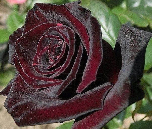 Самая темная роза баккара. Завораживающая красота... (источник: gofazenda)