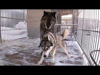 wolf and husky breeding